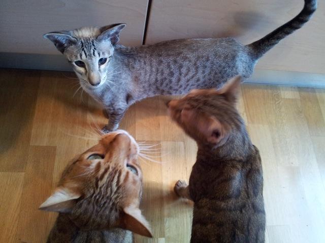 Katzen Huhn