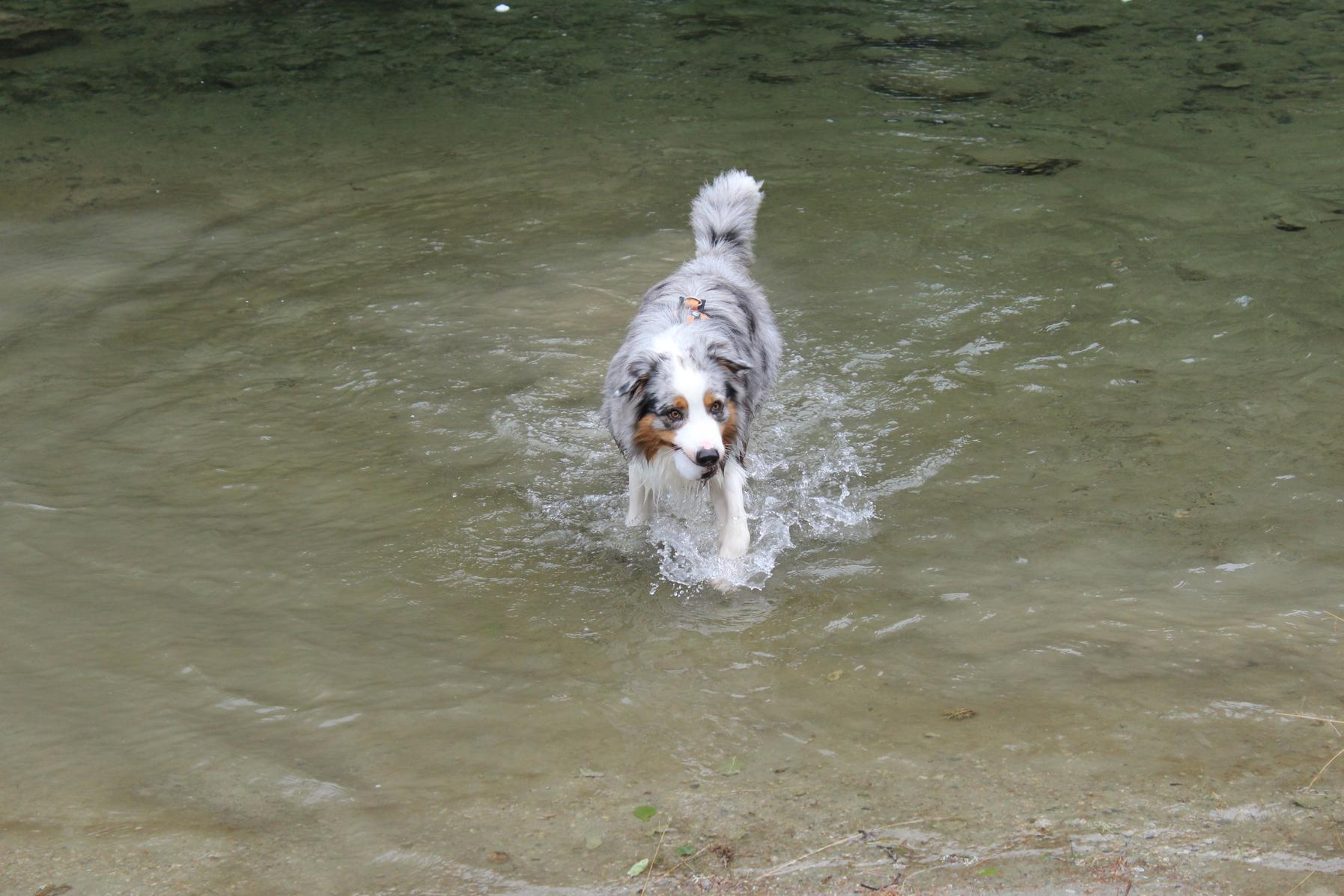 16 Hund im Wasser Aussie