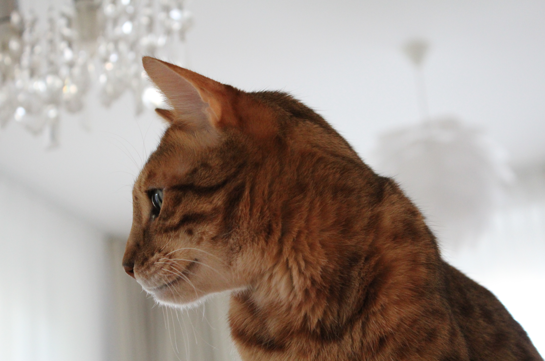 4 Diego Bengalkater