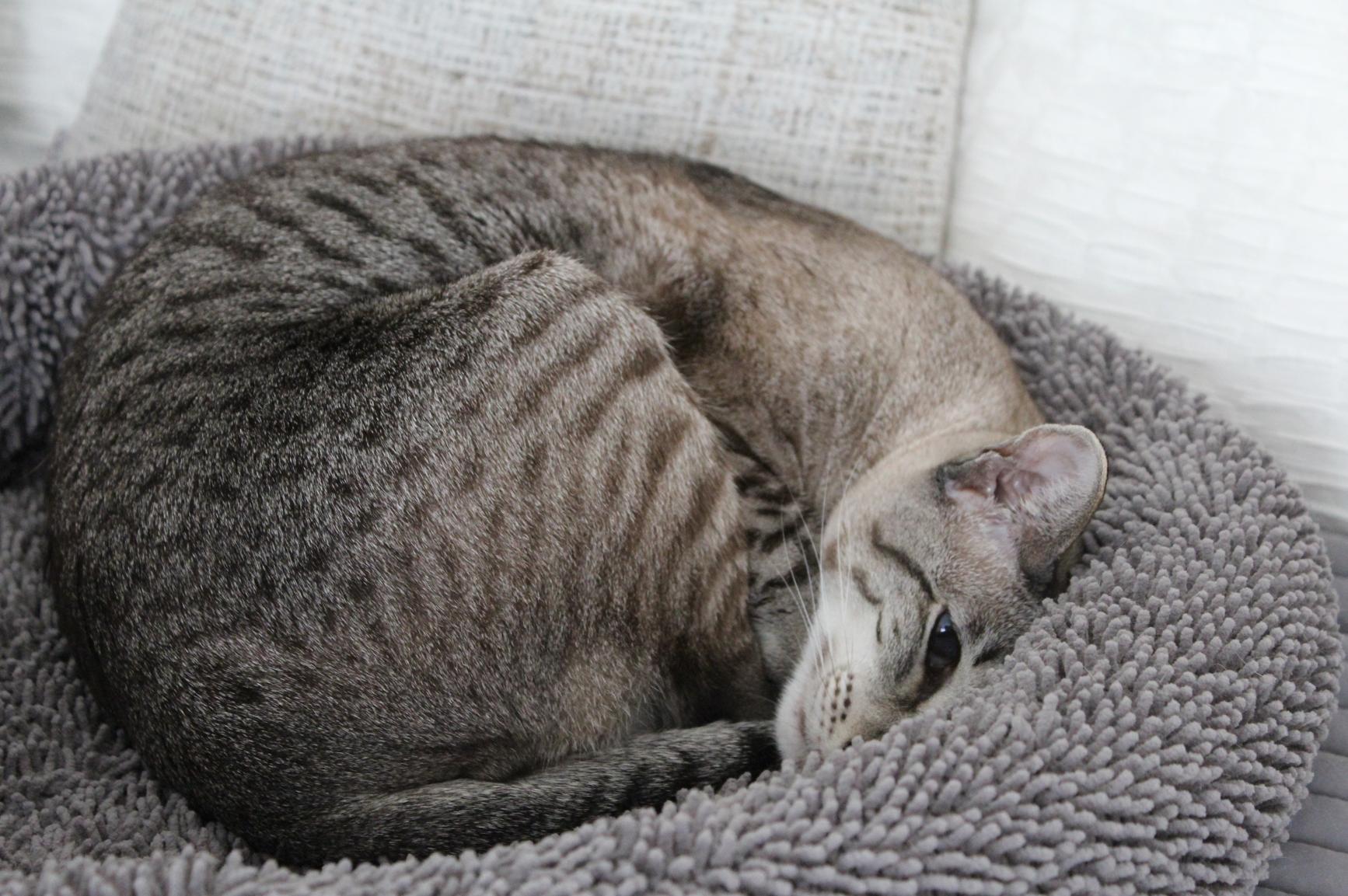 7 Siam Tabby beim Schlafen