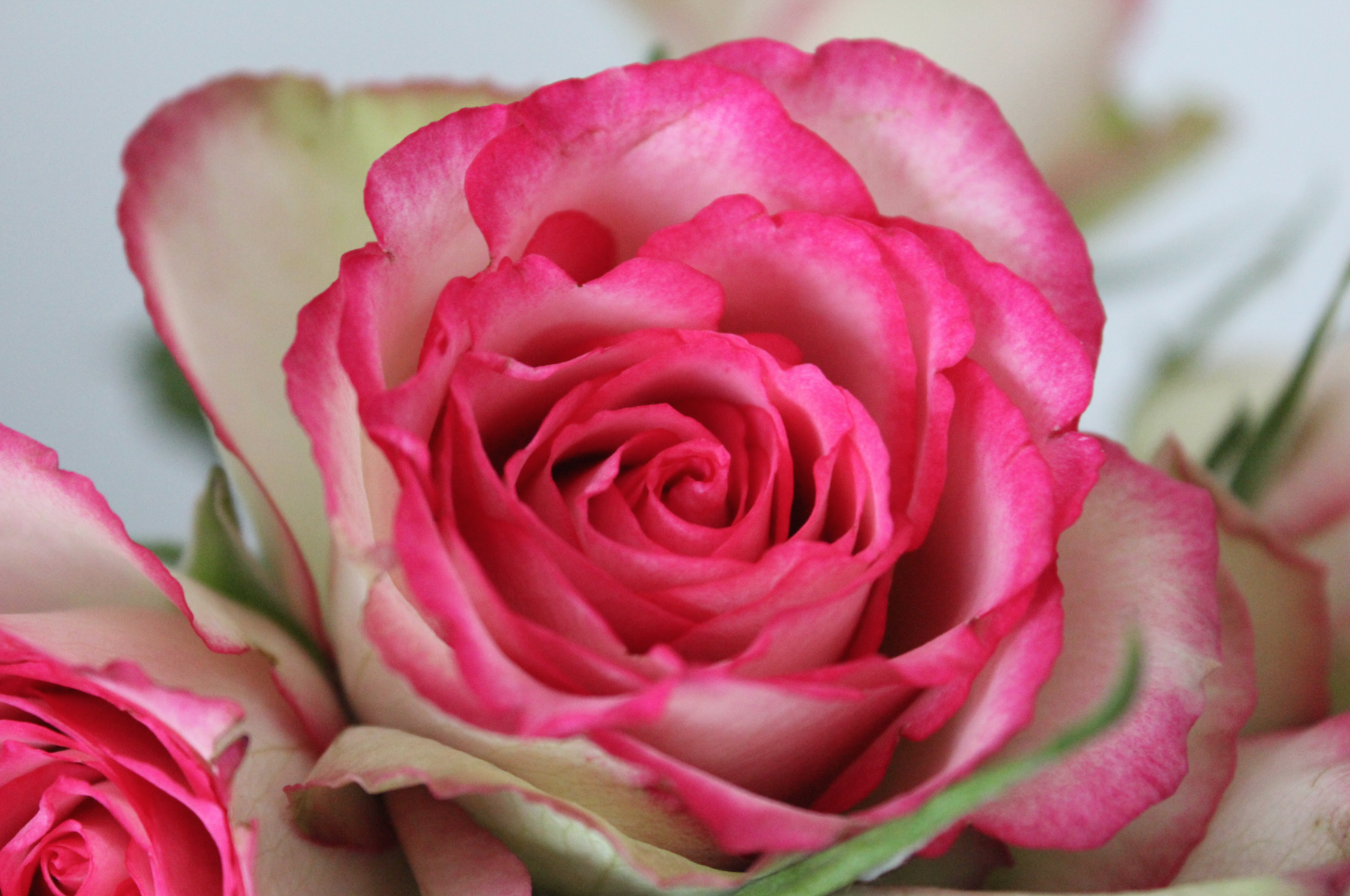 8 Rosen Pink