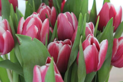 1 Tulpen