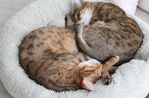 31 Katzen Geschwister Yin und Yang