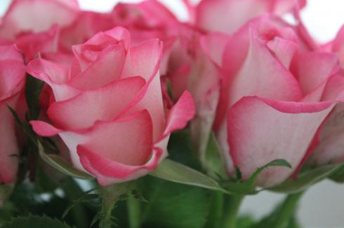 14 Pinke Rosen