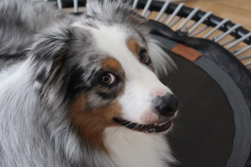 8 Trampolin Hund Bellicon