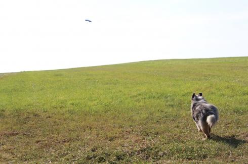 20-frisbee-australian-shepherd