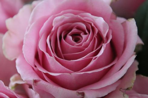 3-rose