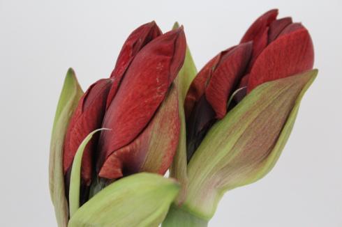 5-amaryllis