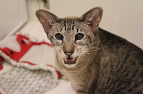 11 Waschen mit Katze Siam Tabby
