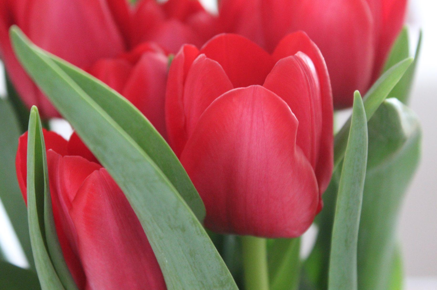 Tulpenliebe