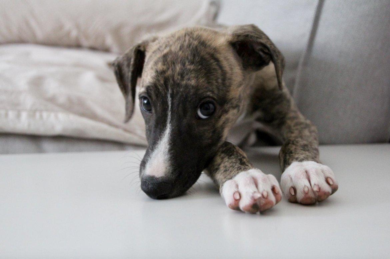 Welpe Hundewelpe Windhund Tipps Welpenzeit