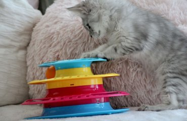 Maine Coon Kitten Kater Babykatze