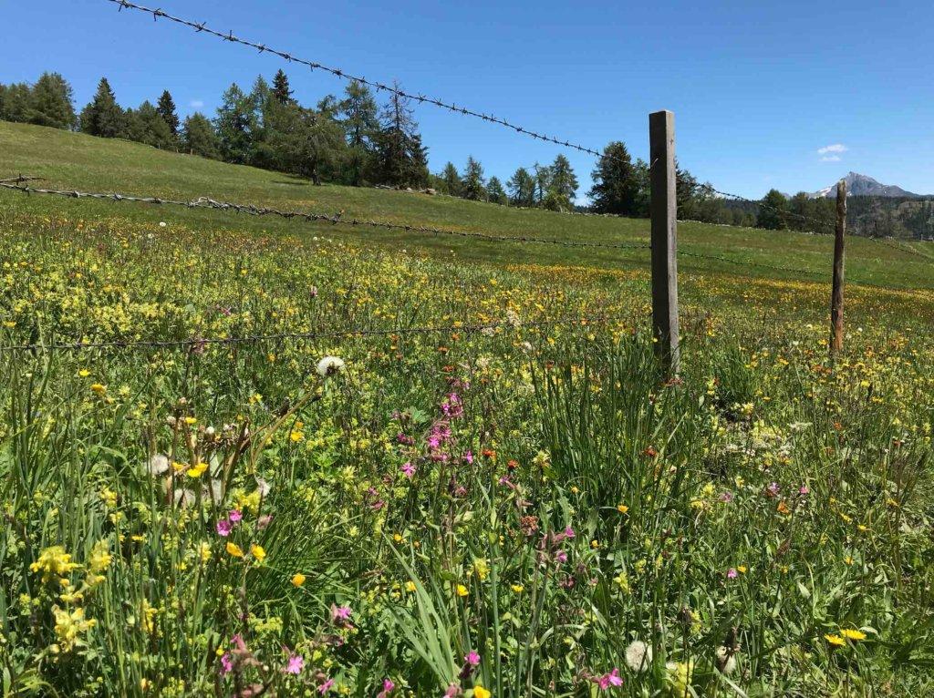 Blumen Wiese Tirol Natur Sommer