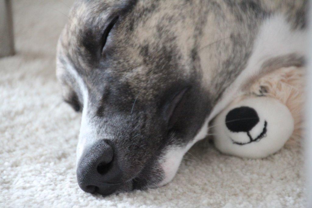 Schlafender Whippet