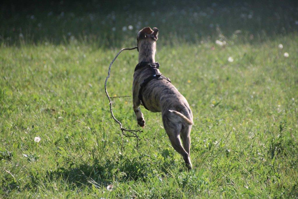 Windhund Whippet Laufen