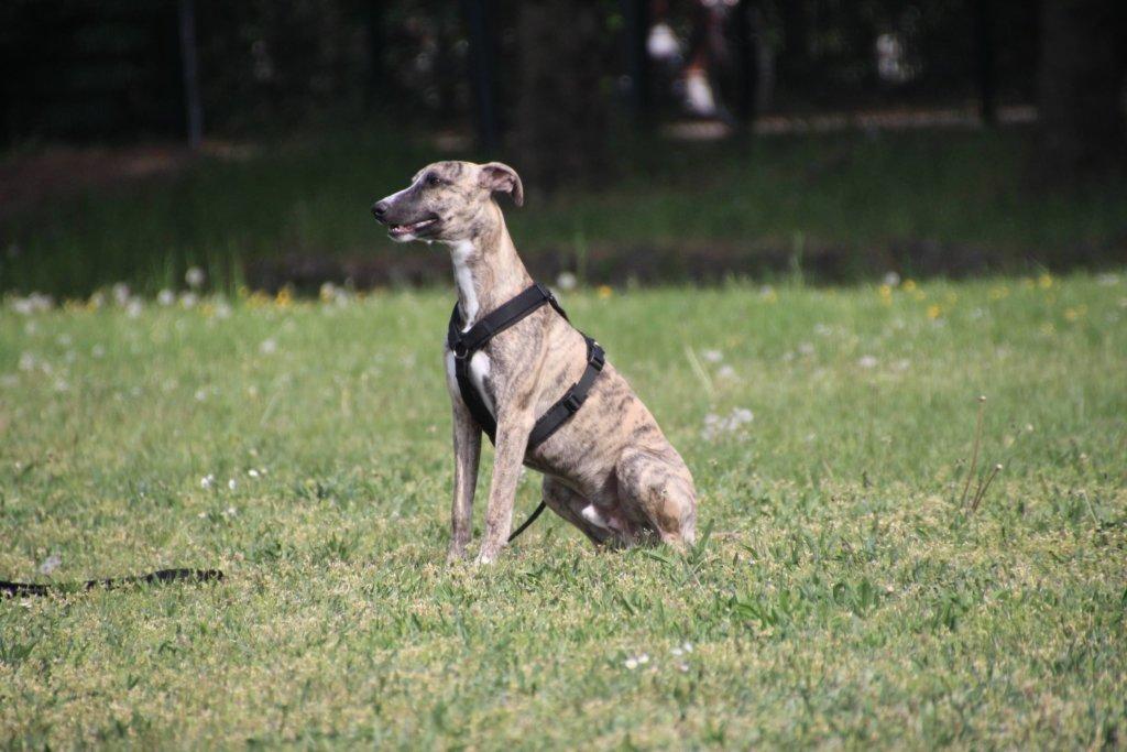 Whippet Hundeschule Hundetraining