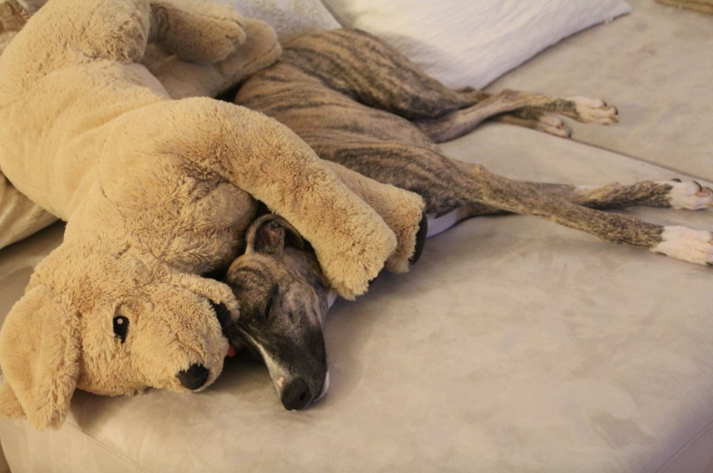 Hund Whippet schlafen