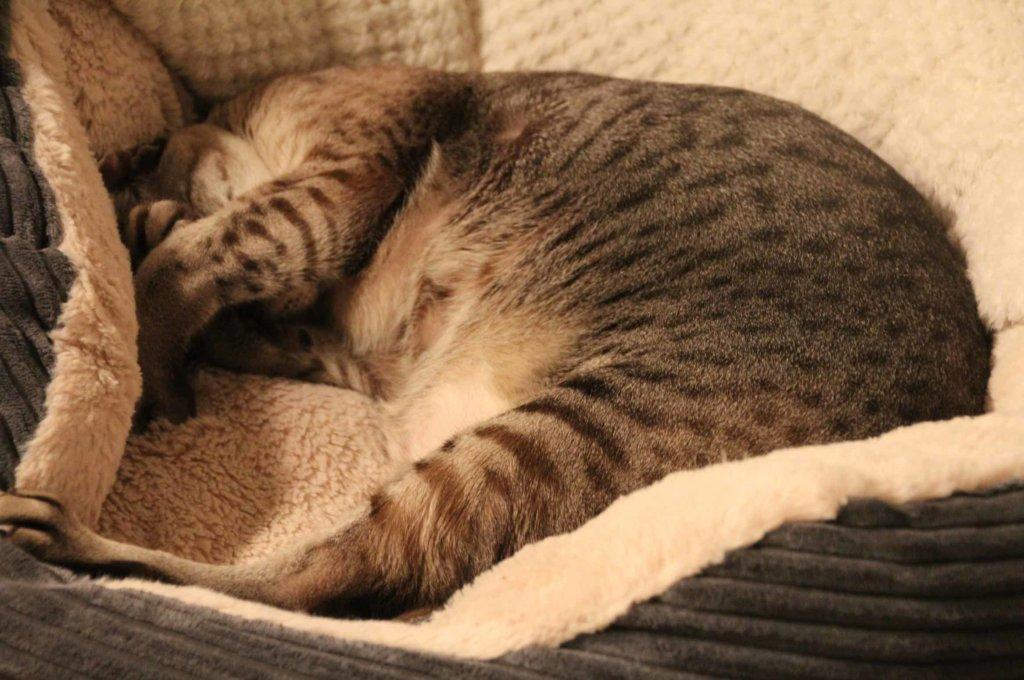 Katze Siamkatze müde