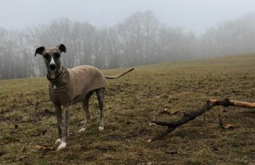 Whippet Spaziergang mit Hund im Nebel
