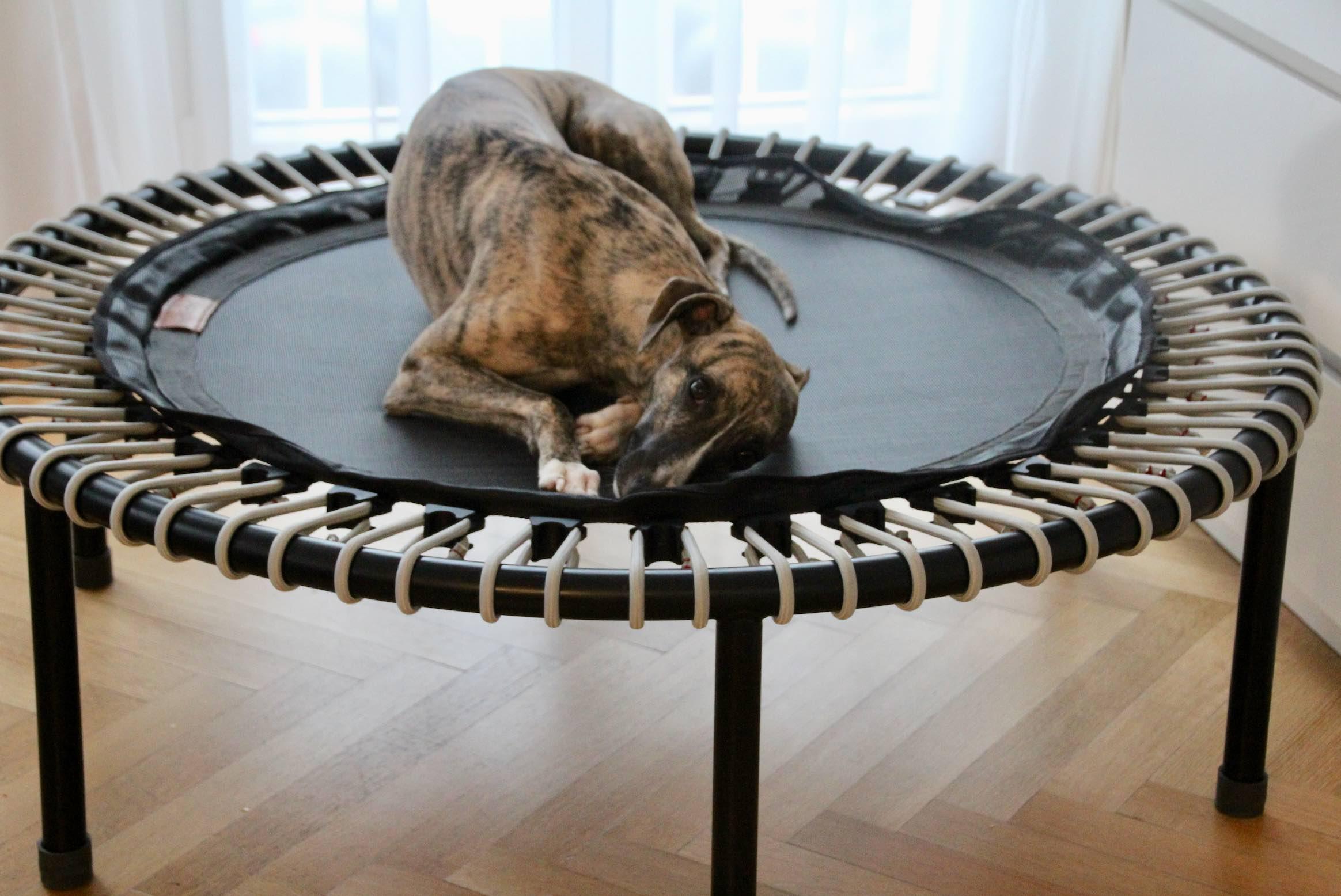 Windhund Whippet müde