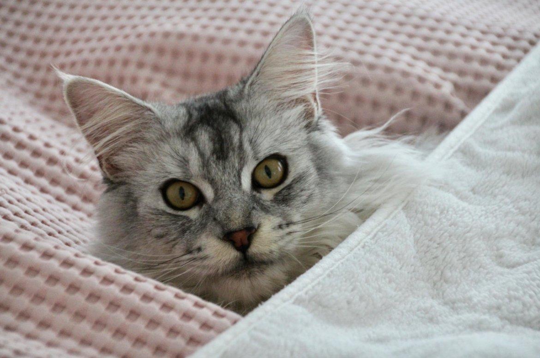 Maine Coon Kater im Bett