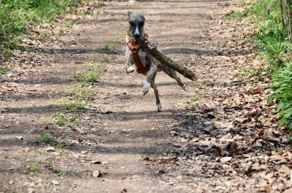 Rennender Windhund