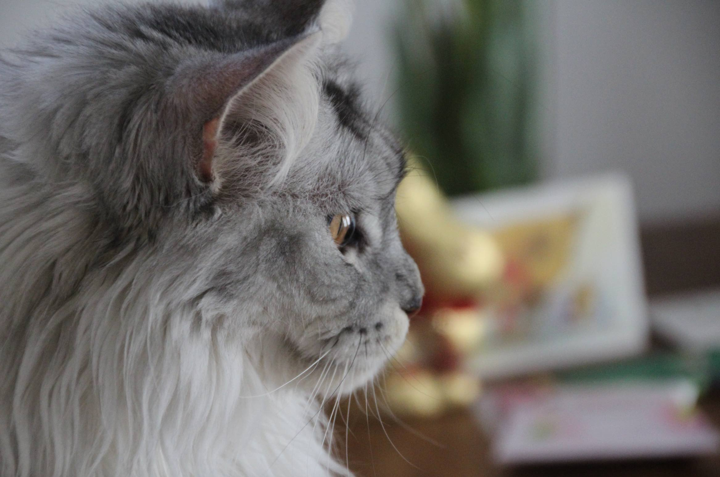Maine Coon Katze Kater