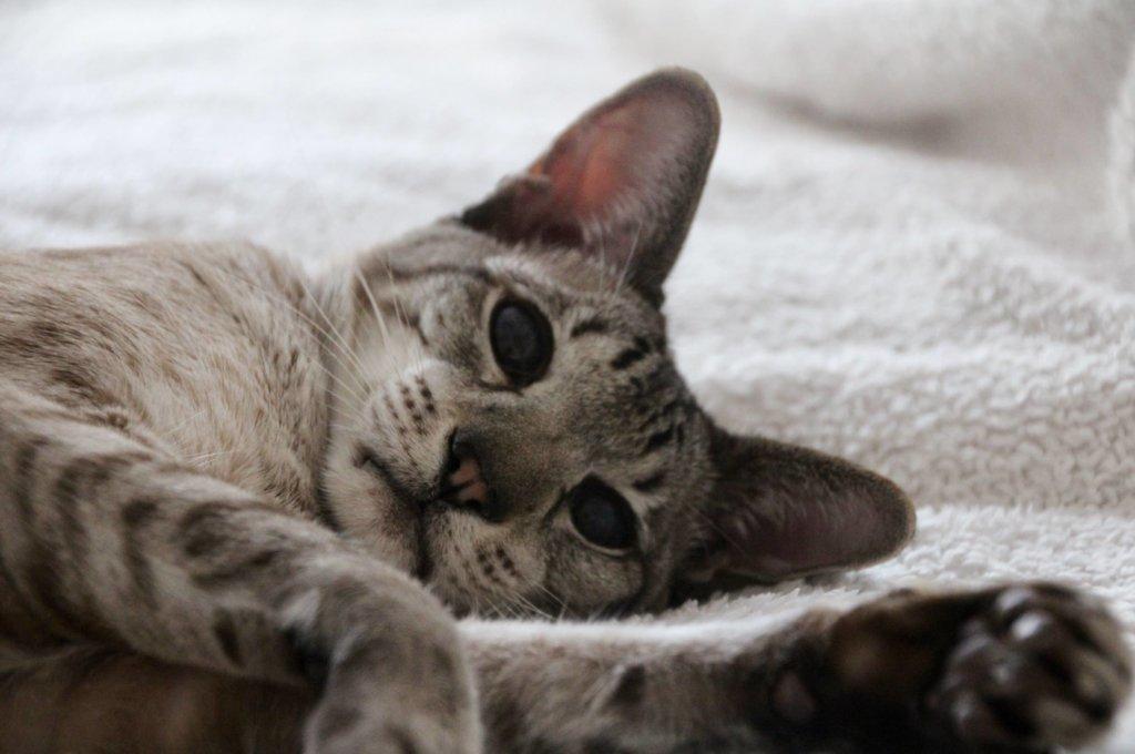 Katze Siam
