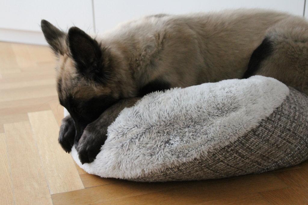 Welpe belgischer Schäferhund